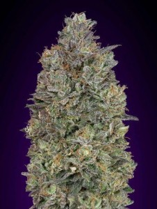 Critical Purple Kush - ADVANCED SEEDS