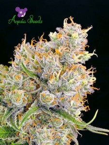 Future #1 - ANESIA SEEDS