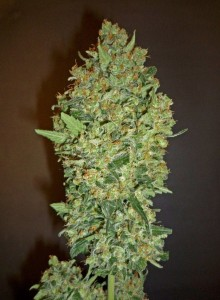 Cheese Berry - 00 SEEDS BANK