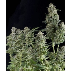 Auto Northern Lights - PYRAMID SEEDS