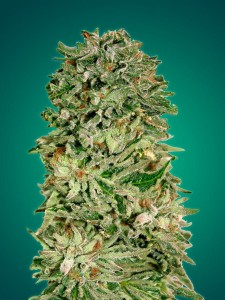 Shark Widow CBD - ADVANCED SEEDS