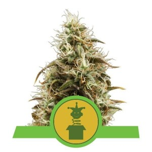Royal Jack Automatic 1+1 - ROYAL QUEEN SEEDS