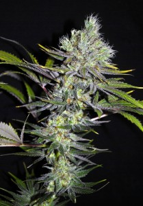 CBD Sweet'n Sour - SEEDSMAN