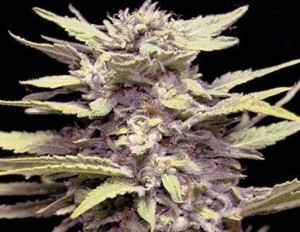 Blue Cindy - G13 LABS