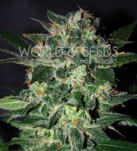 Domina Star - WORLD OF SEEDS
