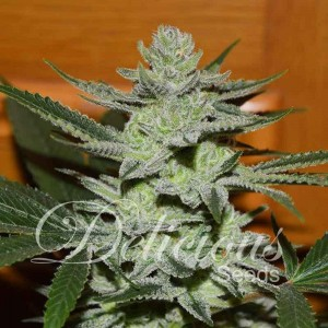 Desconocida Kush - DELICIOUS SEEDS