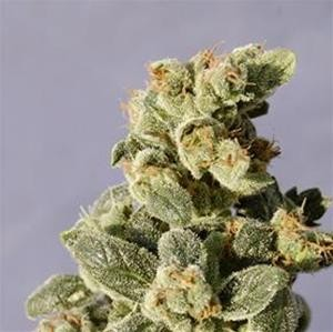 Auto Northern Light - Biological Seeds