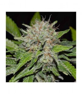 Deep Mandarine CBD - DELICIOUS SEEDS